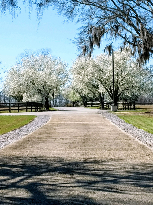 IMG_20180227_140005559 - driveway with blooming trees